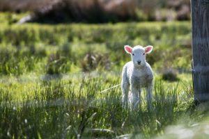 lamb 31